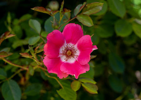 Pink California wild rose (Rosa californica) in nature, viewed from above,  subject is centered, with copy-space on a rose bush