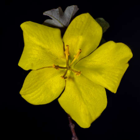 Top (above view) of a yellow California Glory flower, Fremontodendron, against black background
