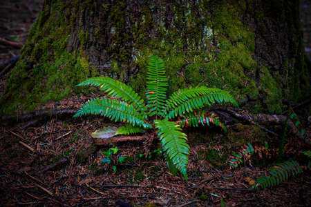 A vibrant fern at the base of a coniferous tree in the coast redwood forest's moist and shady habitat.