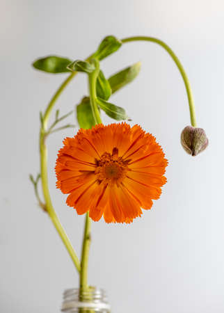 Orange daisy still life and flower bud in black and white, in a glass jar, isolated on white background