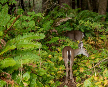 The but and the rest of a deer in a forest in Northern California, Humboldt co. Stok Fotoğraf