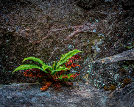 Very green vibrant fern growing on a rock illustrating the concept of resilience and conquering adversity