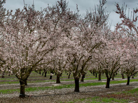 Panoramic view of almond blossoms in orchard  in the beginning of the spring in Winters, California, USA, also featuring the irrigation system