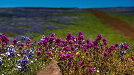 Landscape at North Table Mountain Ecological Preserve, Oroville, California, USA , on a sunny spring day, featuring blooming yellow, pink  and purple wildlfowers and a path a a distance Stok Fotoğraf