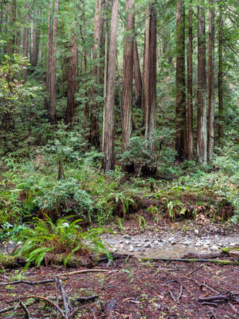 The Landscape at Muir Woods National Monument, California, USA, featuring coniferous trees and ferns Stok Fotoğraf