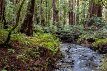 The Landscape at Muir Woods National Monument, California, USA, featuring coniferous trees and ferns and a creek Stok Fotoğraf