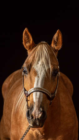 Portrait of a Palomino horse with white blaze  Isolated on black background, , front view, with years pointed forward in attentive look