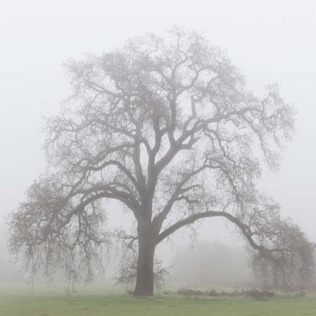 A majestic California oak tree in the fog, close-up
