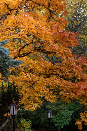 Fall foliage at Lithia Park, Ashland, Oregon, USA, in the Autumn, featuring yellow colors and street lamps. Ashland is the home of the famous Shakespeare Festival