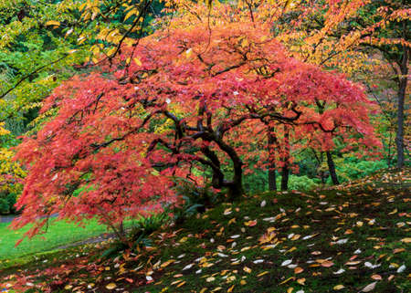 Vibrant red japanese maple tree in full Autumn glory display, viewed from the side, against background of yellow and green leaves, and with colorful fallen leaves on the ground