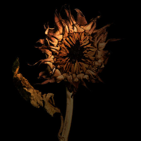 Dying wilting sunflower reminding of the saddness and loneliness of old age and wilted love against black background Banque d'images