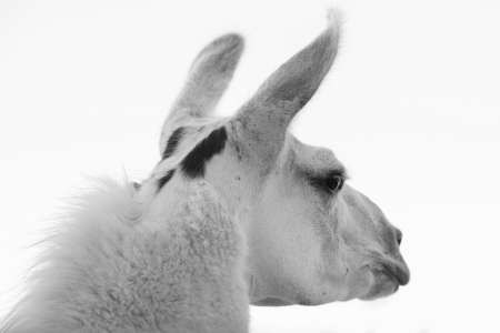 Close-up on the head of a shaved adult llama in black and white, with the years pointing forward, isolated, selective focus and rear side view