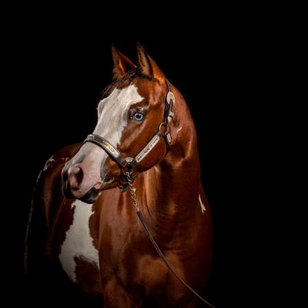 Portrait of a pinto chestnut and white horse with white blaze and blue eyes Isolated on black background, front view, with years pointed forward in attentive look