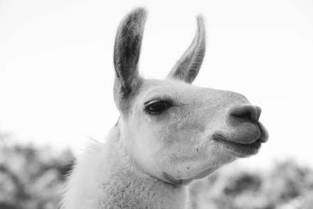 Close-up on the head of a shaved adult llama in black and white, with the years pointing forward, selective focus and front side view 免版税图像