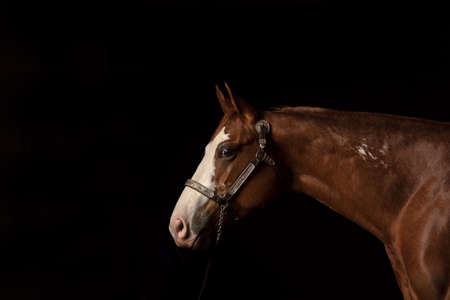 Portrait of bay horse with white blaze on black background, head and neck side view, with years pointed forward in attentive look
