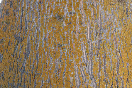 The bar of an oak tree covered in yellow lichen, texture and background 免版税图像