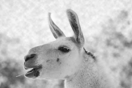 Close-up on the head of a shaved adult llama in black and white, with the years pointing forward, selective focus and side view and a piece of grass in the mouth 免版税图像