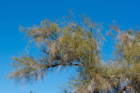 Branch of a Blue Palo Verde tree, Parkinsonia florida in Southern California Stockfoto - 156125987