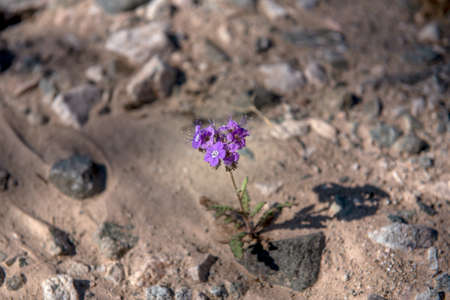 Phacelia fremontii, purple, wildflower, in the desert of Southern California