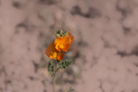 Desert globemallow, wildflower, in the desert of Southern California, with plenty of copy-space, selective focus
