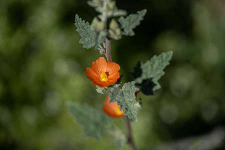 Desert globemallow, wildflower, in the desert of Southern California, with plenty of green copy-space, selective focus