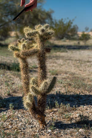 Teddy Bear cactus being photographed with a cell phone in the desert of Southern California Stockfoto - 156126000