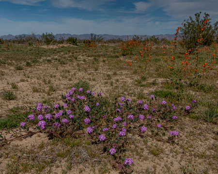 Pink Sand Verbena (Abronia umbellata) and Desert globemallow (Sphaeralcea ambigua) the southern Desert of California