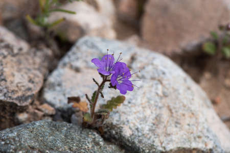 Femont Phacelia (P. fremontii) flower in the desert of Southern California, among rocks, ilustrating the concept of resilience Stockfoto - 156126049