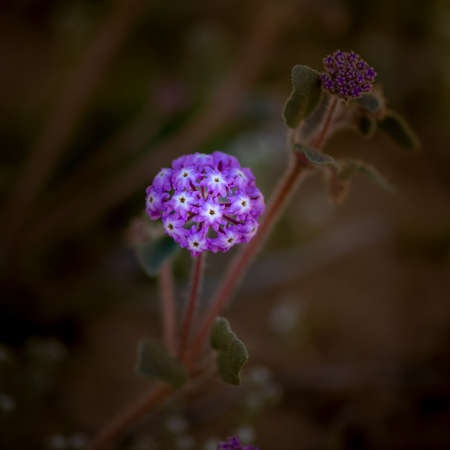 Pink Sand Verbena (Abronia umbellata) in the southern Desert of California