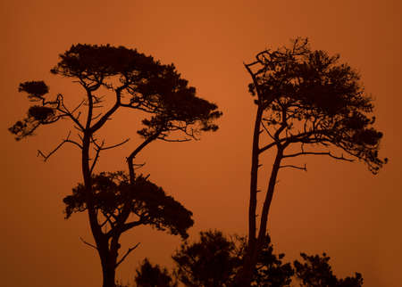 Monterey Cypresess against the orange sky due to the Dolan fire in the Big Sur, during the fire season of 2020 Stockfoto