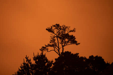 Monterey Cypress against the orange sky due to the Dolan fire in the Big Sur, during the fire season of 2020 Stockfoto - 156110855