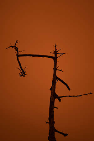 Ghost tree against the orange sky due to the Dolan fire in the Big Sur, during the fire season of 2020 Stockfoto - 156112028