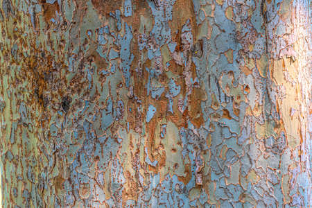 This type of sycamore tree can be found widely near my home. I noticed the faint colors of this bark in nature, and with some post-processing  techniques I was able to enhance them:yellow, blue and brown