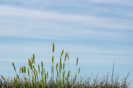 Pollen-loaded tall grass, flowers, in the spring of California, during the allergy season, against blue, cloudless sky Stockfoto - 157072446
