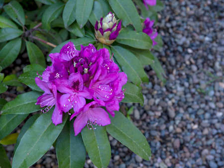Rhododendron, pink flower,  top view, with green leaves and copy-space, viewed from above, in nature outdoors