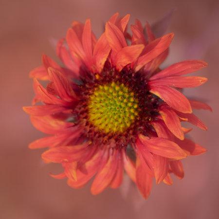 Arizona Sun Blanket Flower,  Gaillardia grandiflora, viwed from above, against defocused, green bokeh background