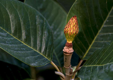 The seedpod of a Magnolia with green leaves, selective focus, details, macro shot outddors