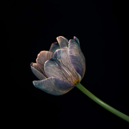 Opening up tulip flower against black background, one flower, symbolizing the beginning of the spring