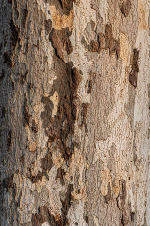 Sycamore bark texture and background with different shades of brown, large copy-space Stockfoto