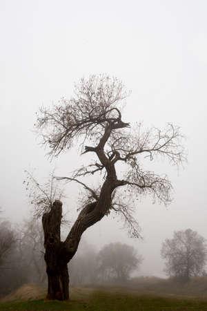 UC Davis riparian preserve has a tree that looks like a dragon on a foggy morning .