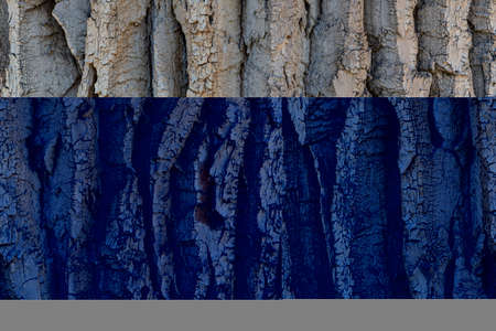 The texture of the bark of a Populus tree trunk- background or backdrop Stockfoto
