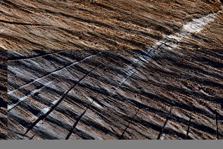 Wood texture and background of a cut  tree trunk  showing the concentricl marks of the phloem crossed by grooves