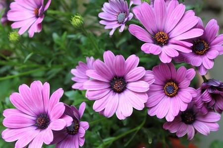 Pink daisies Stock Photo - 7081048