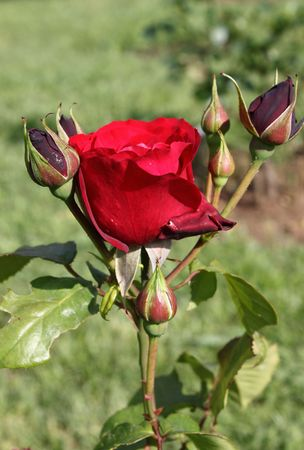Red rose with lateral buds photo