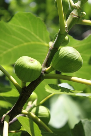 Figs on a fig tree photo