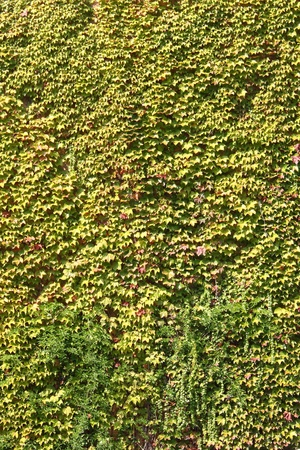 Green ivy leaves covering a wall photo