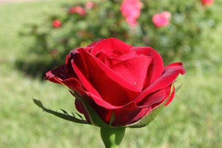 Closeup of a beautiful intense red rose photo