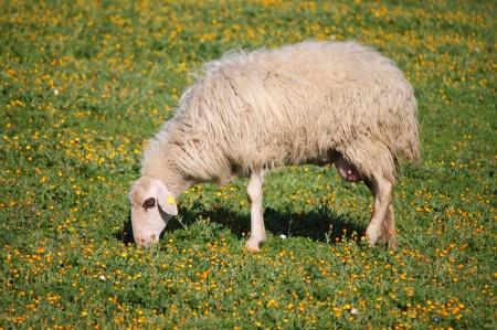 animalitos tiernos: Ovejas de lana comiendo hierba en un prado Foto de archivo