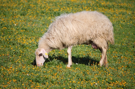 Woolly sheep eating grass in a pasture photo