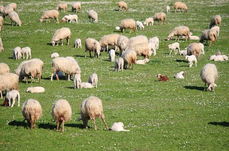 Flock of sheep grazing in a meadow photo